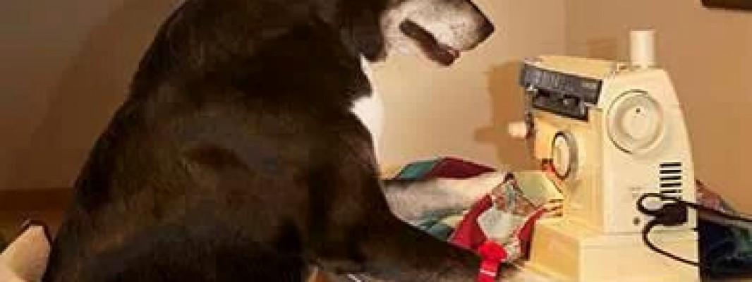 Buzz, o cachorro costureiro